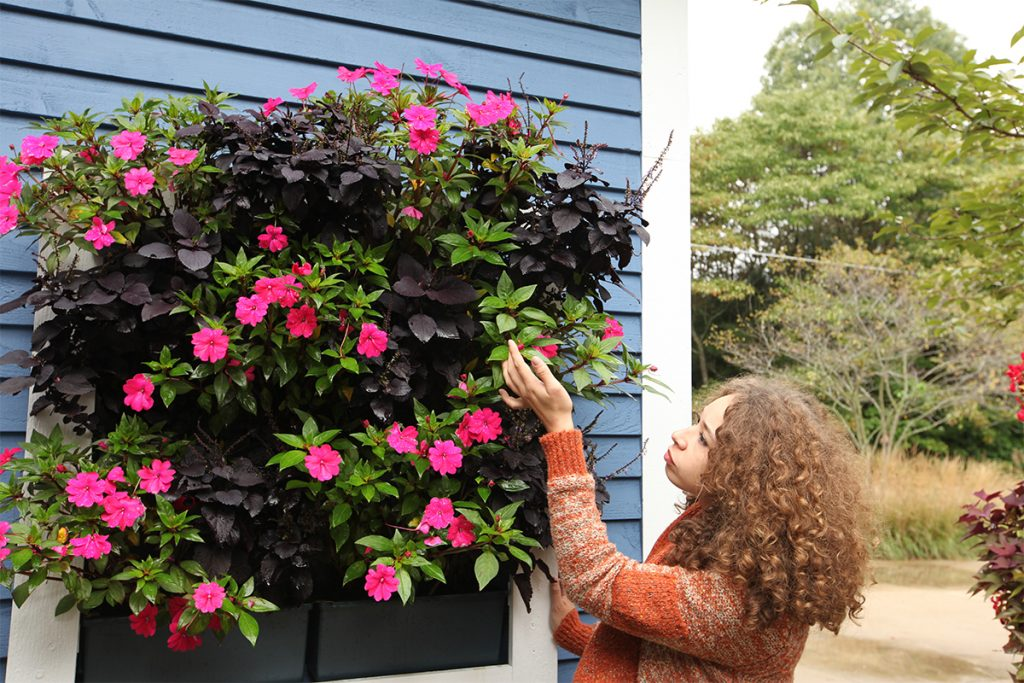 Green Wall with Pink SunPatiens and Purple Coleus