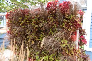 Red Rooster Sedge and Coleus 'Henna' Mobile LiveScreen
