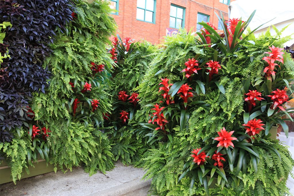 Boston Fern with Bromeliads on a Living Wall and Living Screen