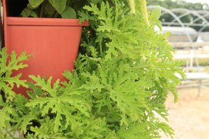 Citronella Living Wall for Keeping Mosquitos Away