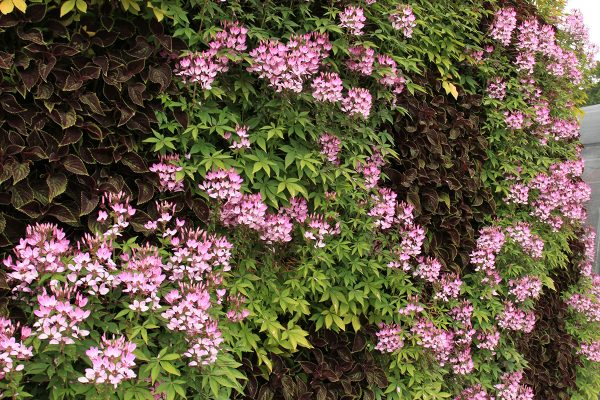 Combination of Cleome and Coleus in a living wall.