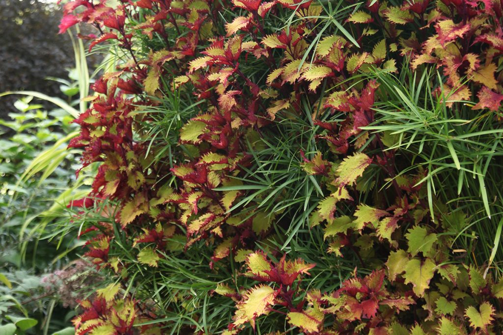 Coleus Henna and Papyrus in Plant Wall