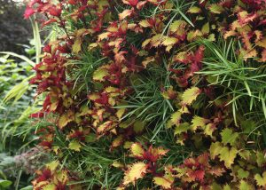 Coleus and Papyrus in a living wall.