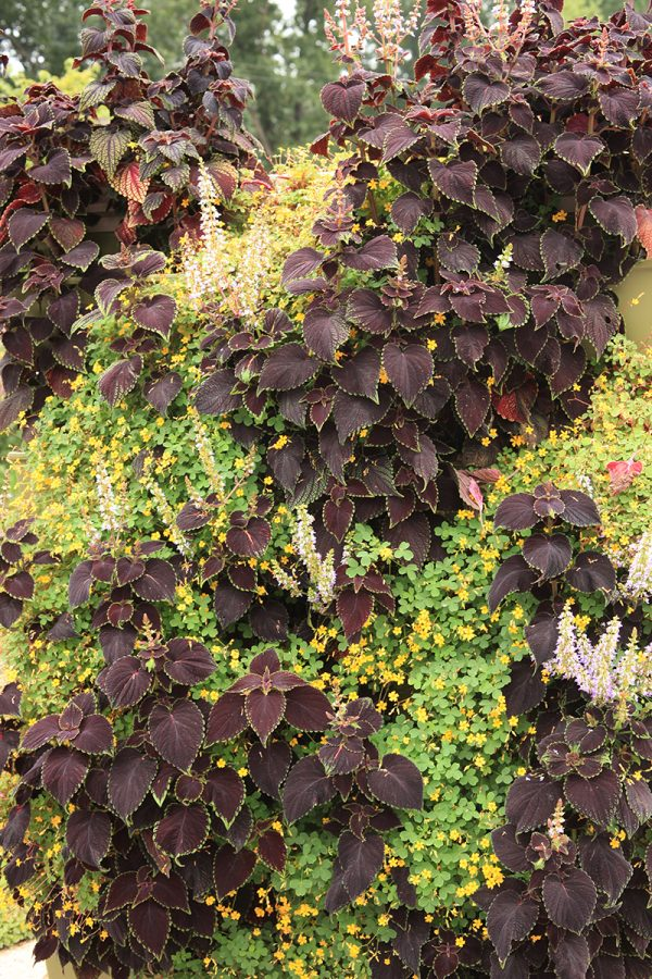 Coleus and Oxalis create a visually pleasing wall with lots of color.