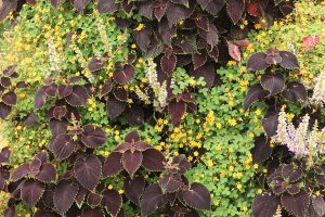 Coleus and Oxalis in Green Wall Planters