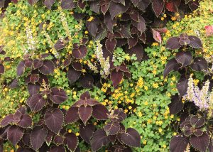 Combination of Coleus and Oxalis in a vertical garden.