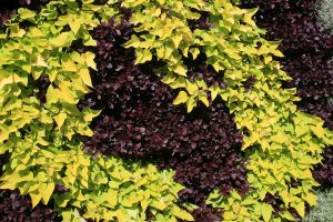 Color Swirl Green Wall Planting of Sweet Potato Vine and Alternanthera
