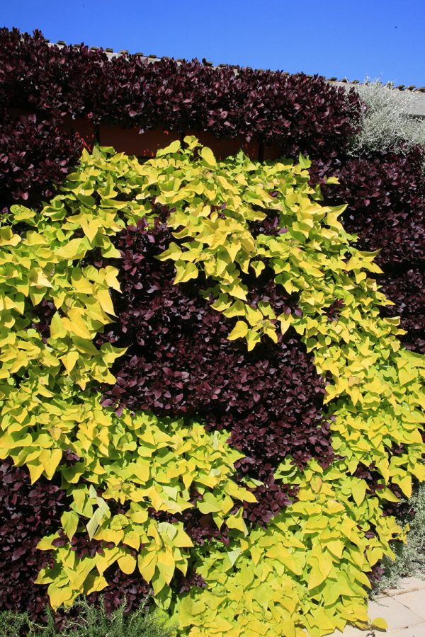Yellow and maroon color swirl living wall with Sweet Potato Vine.