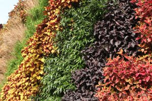 Contrasting Colored Annuals in Green Wall