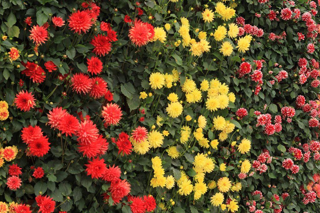 Dahlia Mixed Green Wall Planting