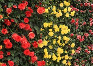 Dahlias mixed vertically on a green wall.
