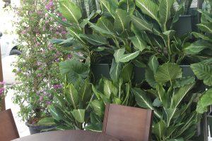 Dieffenbachia and Sanseveria Living Wall Plantings