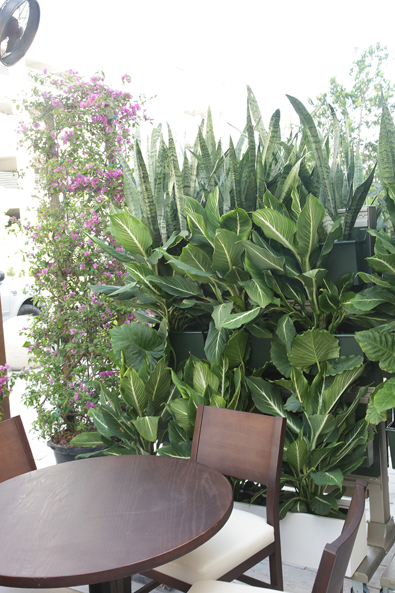 Green tropical wall with Dieffenbachia.