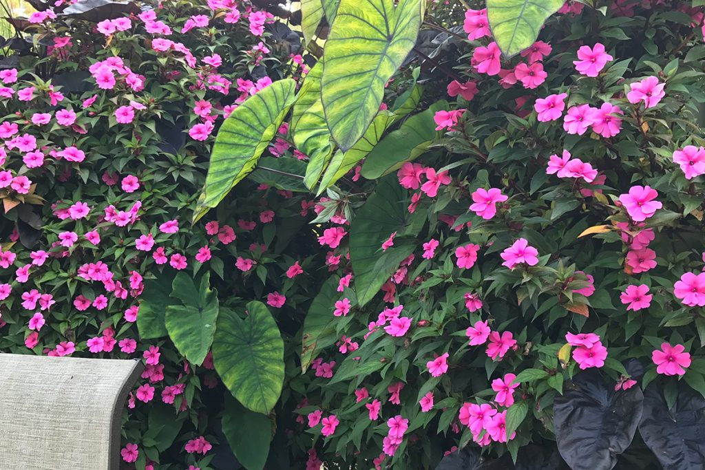 Elephant Ears and Impatiens in Green Wall Fence