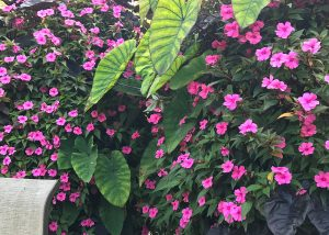 Green wall with pink Impatiens and Elephant Ears.