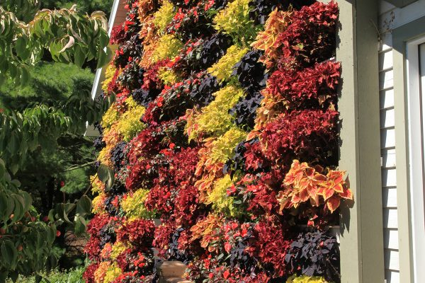 Fall colored coleus in a LiveWall.