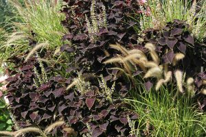 Fountain Grass with Coleus in Green Wall