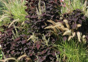 Fountain Grass and Coleus combination on a green wall.