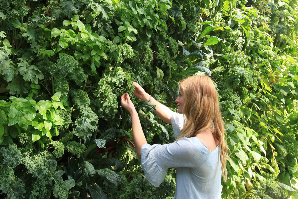 Leafy Green Wall Planting with Lettuce, Kale, and Chard
