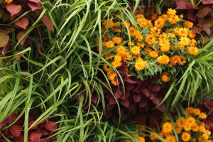 Orange Zinnias, Lemon Grass, and Red Coleus Green Wall Planting