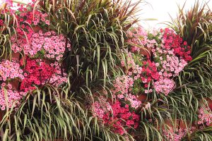 Petchoas and Broad-Leaved Pennisetum in Vertical Garden