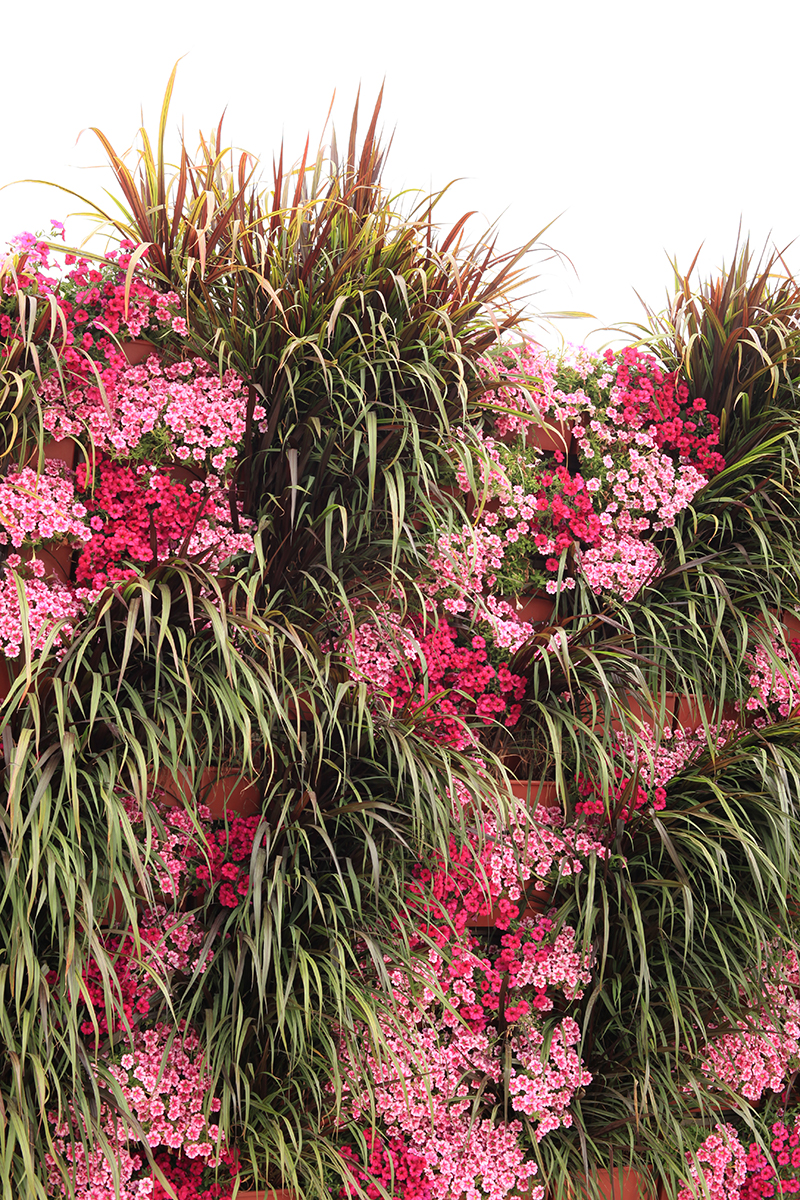 Pennisetum and Petchoa in a vertical arrangement in green wall.
