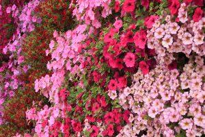 Petunia, Petchoa, and Calibrachoa Green Wall
