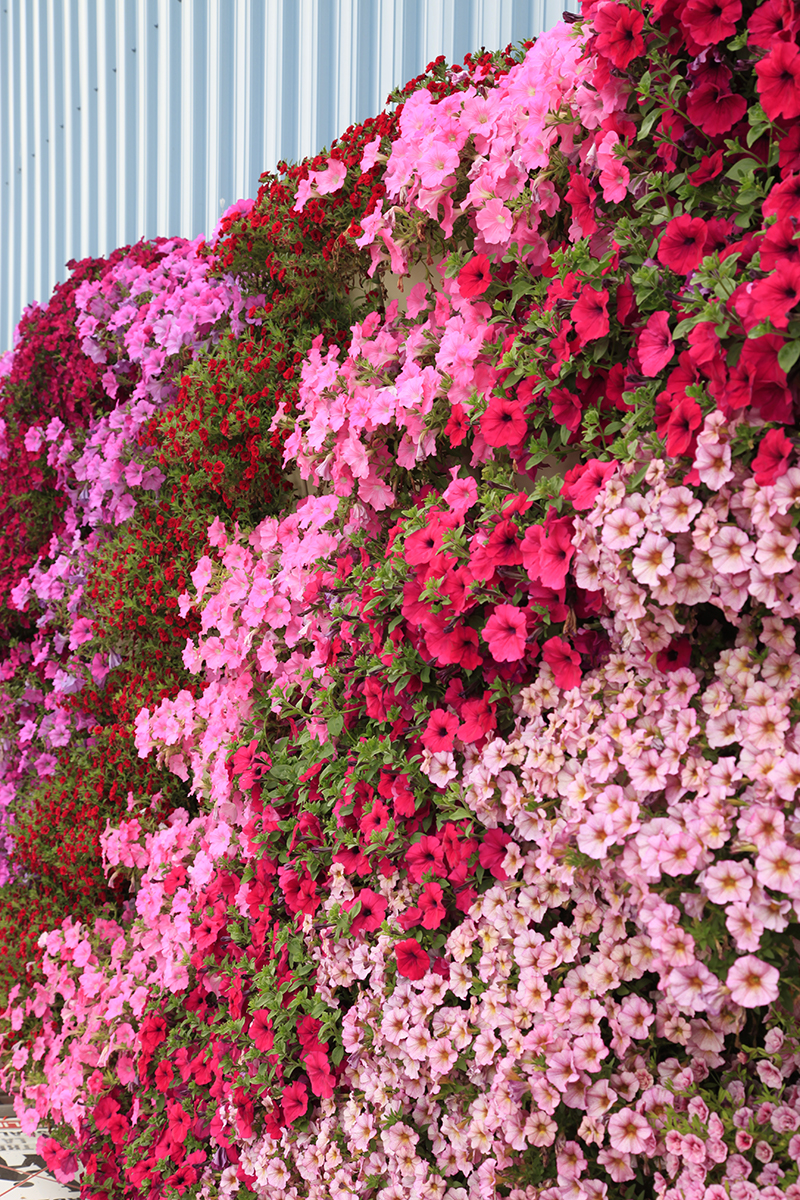 Varying shades of annuals aligned vertically with Petunias.
