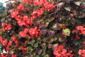 Red Begonia and Purple Coleus LiveScreen