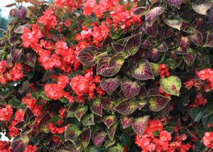 Begonias and Coleus aligned diagonally in a living garden.