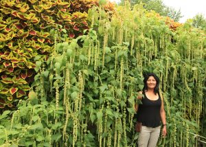Amaranthus flowing down in a living wall.