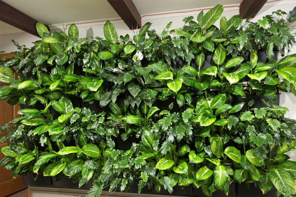 Dieffenbachia and Philodendron 'Xanadu' Living Wall Plant Trial