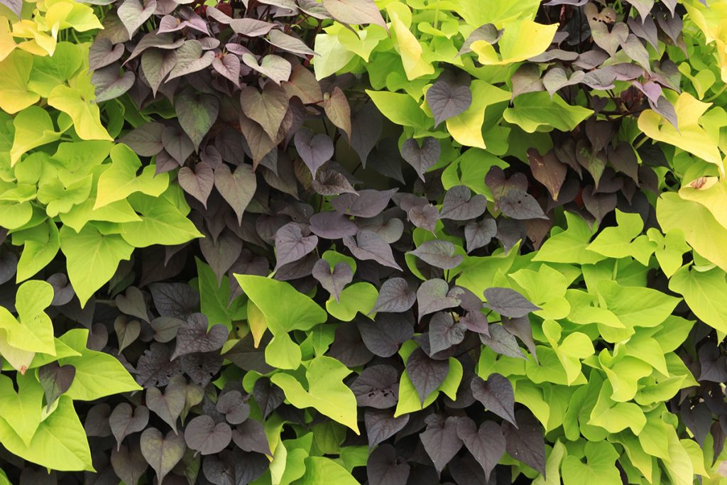 Simple Yet Elegant Green Wall with Two Contrasting Sweet Potato Vines