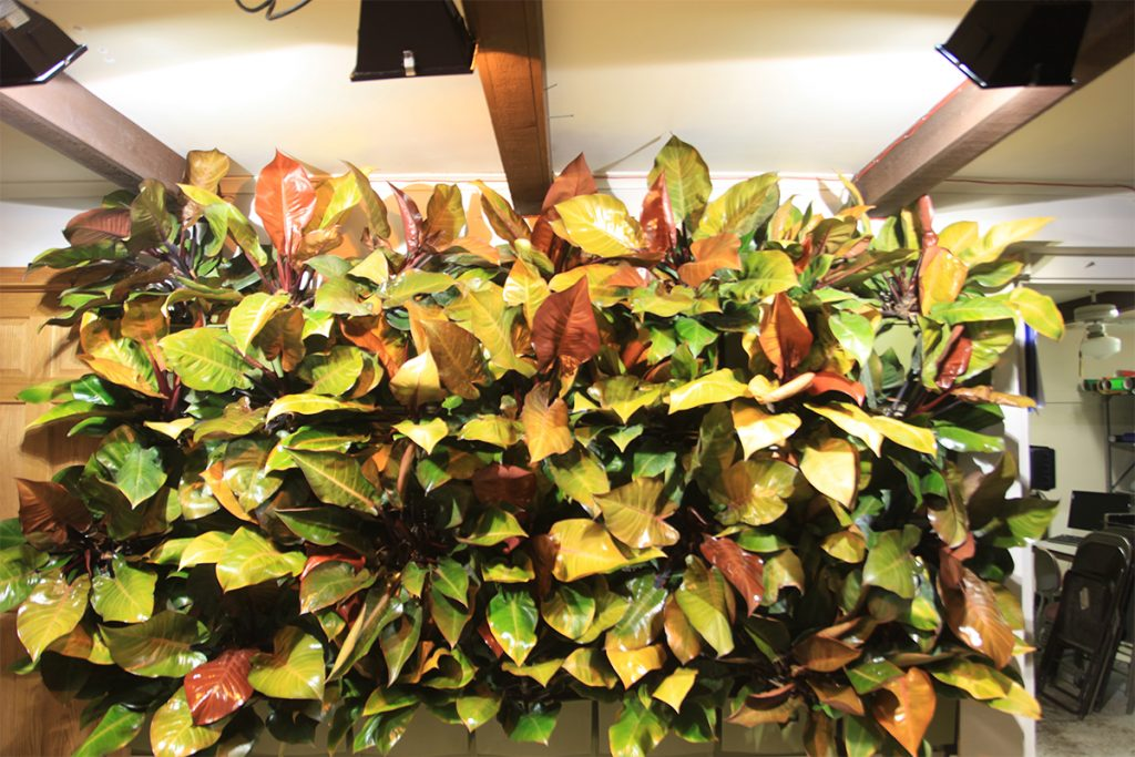 Philodendron 'Prince of Orange' and 'Rojo Congo' Indoor Living Wall
