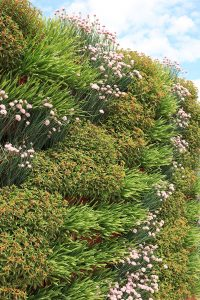 Combination of Allium and Sedum planted in a green wall with a diagonal pattern.