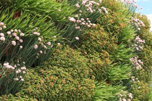 Sedums and Alliums in Diagonally Planted Wall
