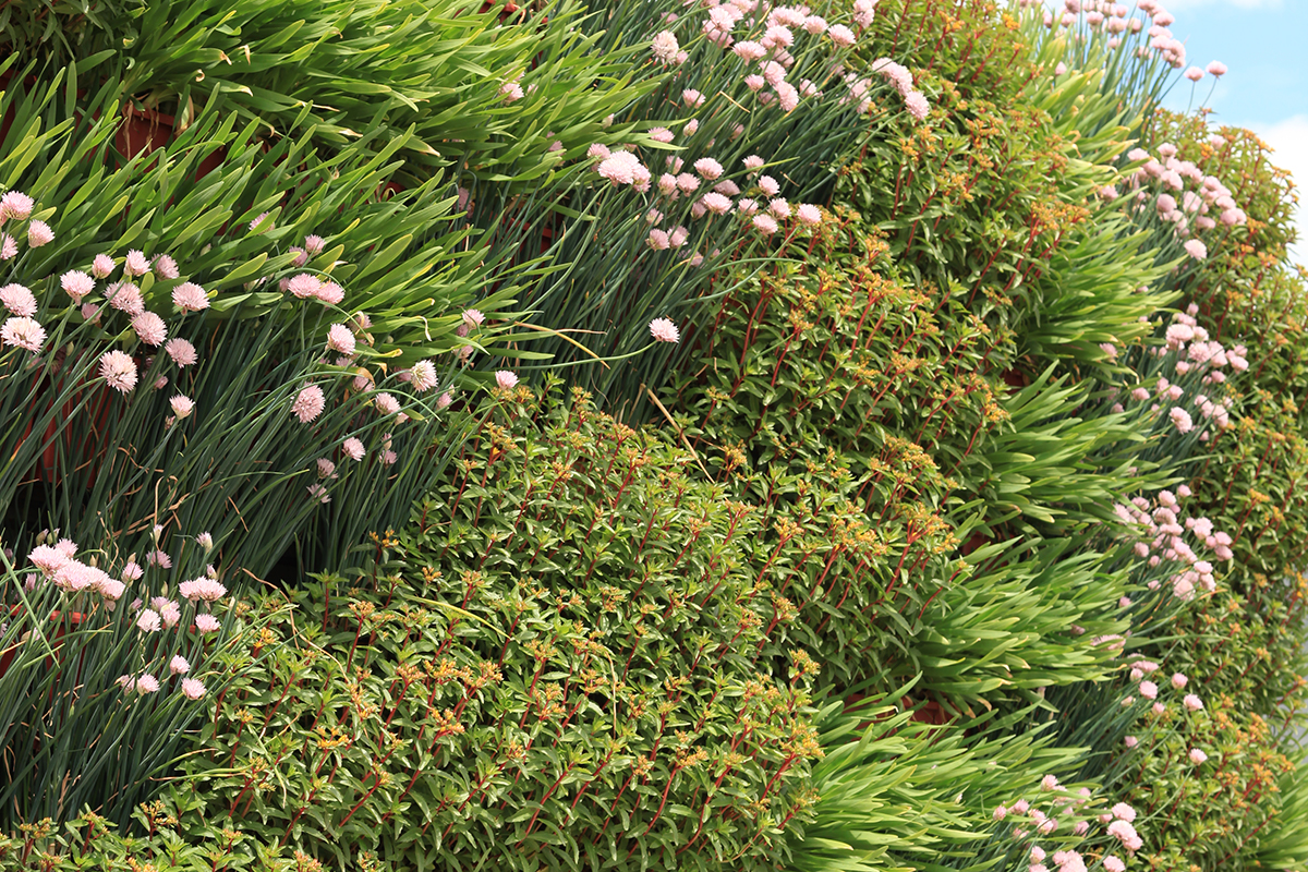 Combination of Allium and Sedum vertically arranged in a green wall.