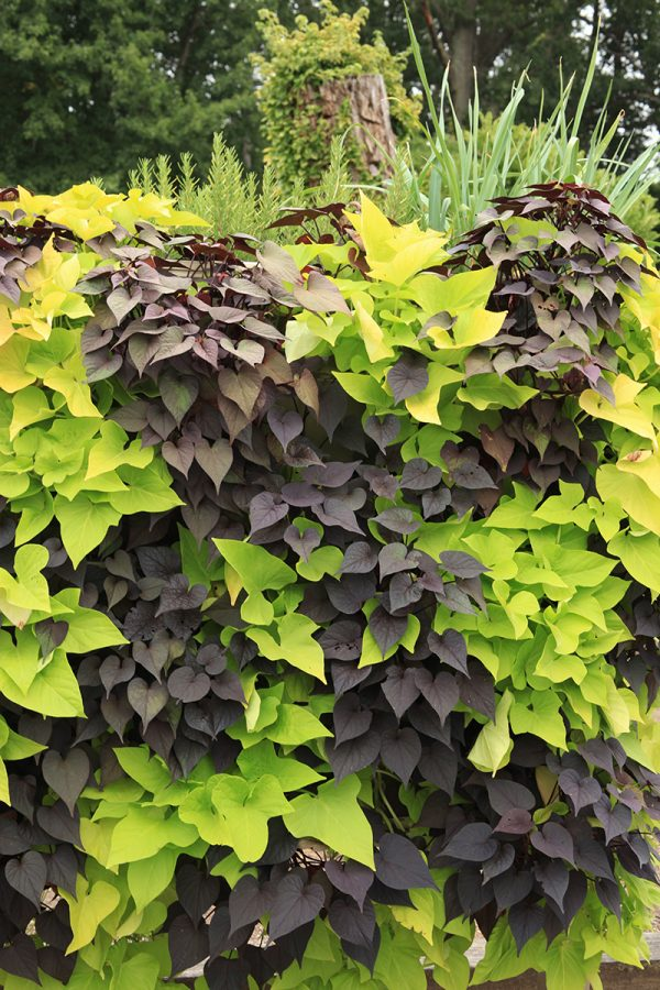 Mix of two different colored Sweet Potato Vines in a living wall.