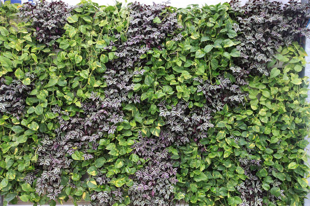 Tradescantia and Pothos in Diagonally Planted Living Wall
