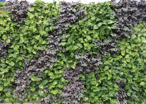 Contrasting diagonal pattern from mixed tropical plants with Tradescantia.