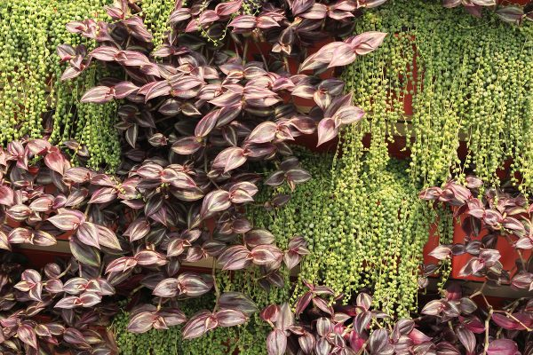 Contrasting succulents in a diagonal pattern on a living wall.
