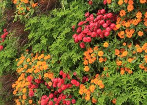 Bursts of color from a combination of annuals with Zinnias.