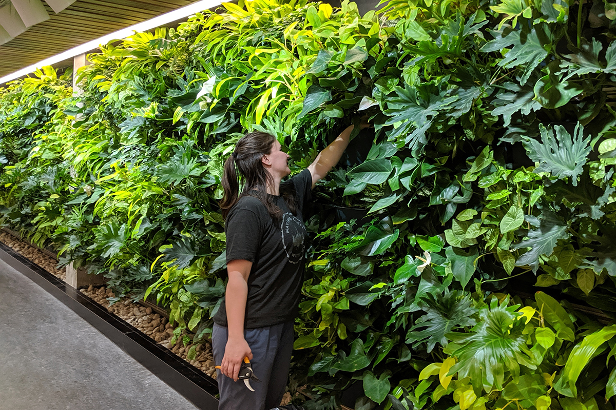 Caretaker performs living wall maintenance at Trent University.