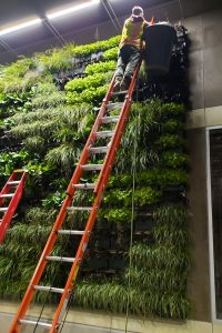 The living wall at the Starbucks in Ventura is cared for during nighttime hours, so that maintenance staff does not block the drive-through during business hours.