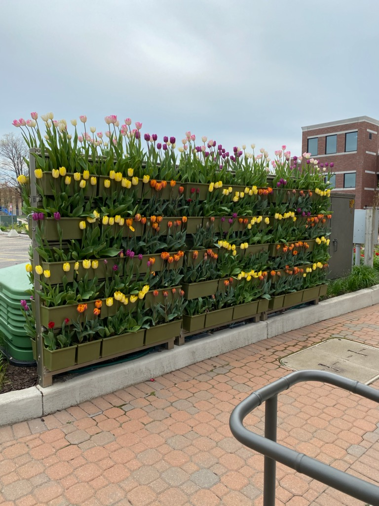 Many colors of tulips in a LiveWall outdoor living wall system