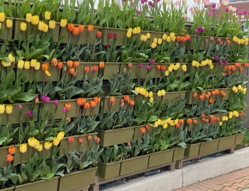 City of Holland Tulip Wall