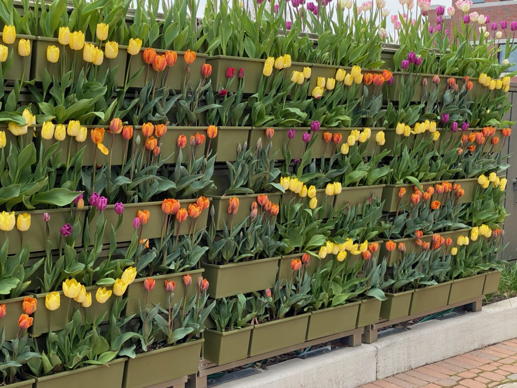 Many colors of tulips in a LiveWall outdoor green wall system